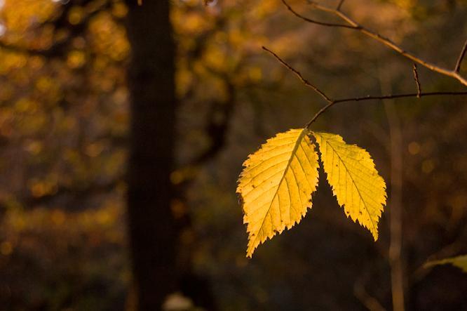 Autumn leaft