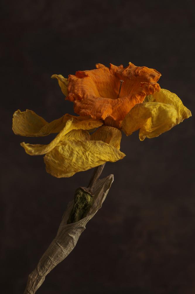 dried daffodil