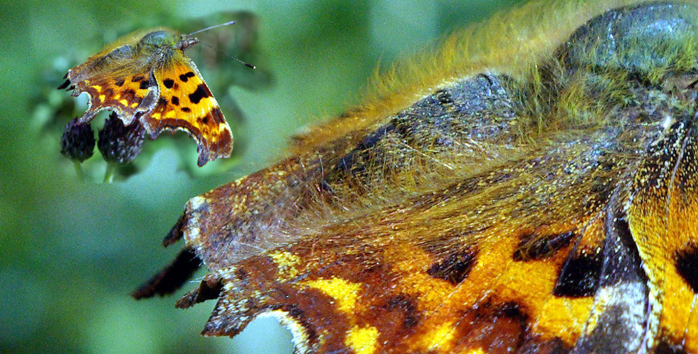 Female Comma Butterfly closeup