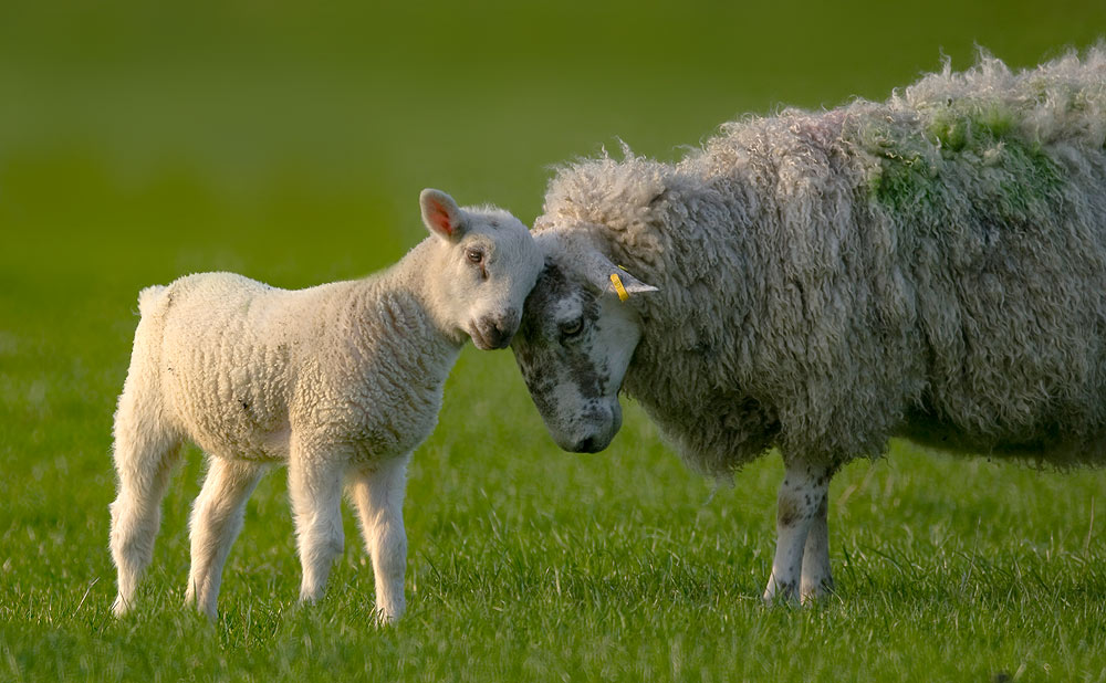Sheep with 500mm Tamron Mirror lens