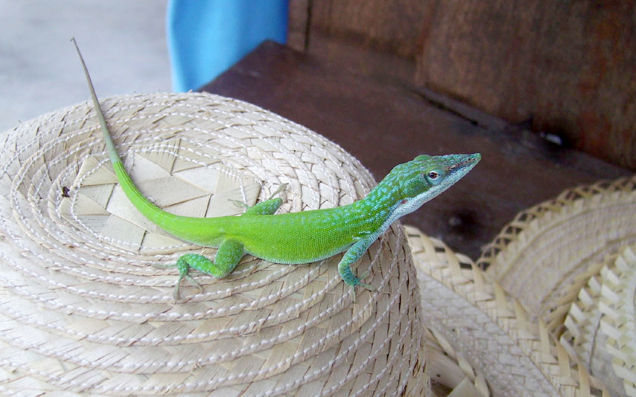 Lizard on a straw hat, Zapata, Cuba