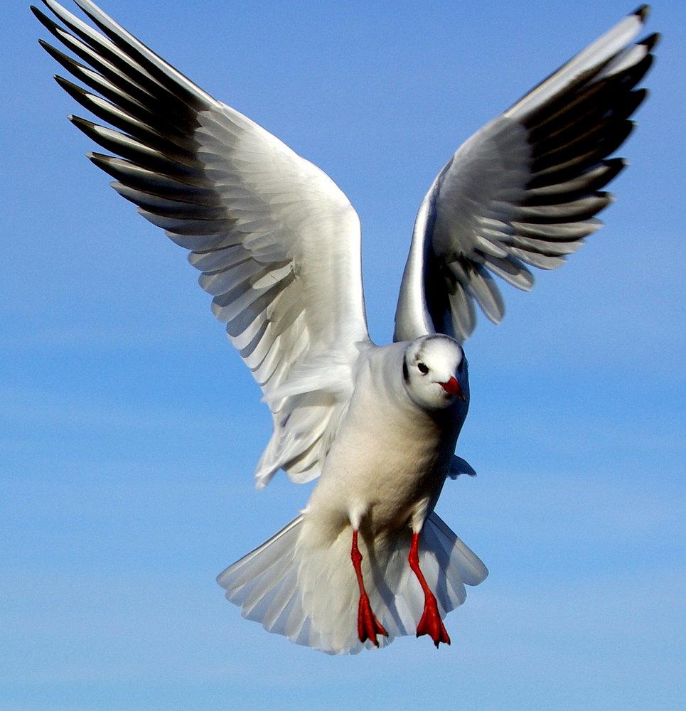 Blackheaded gull,winter plummage.