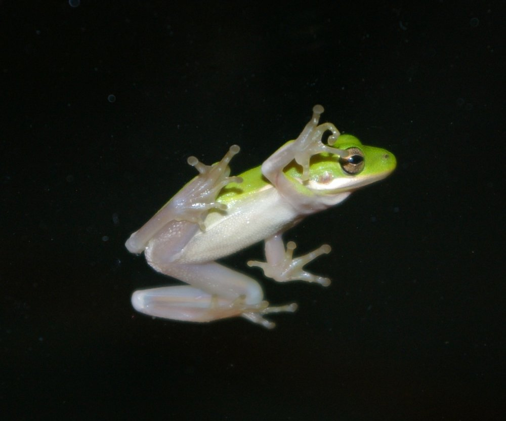 Green Frog on the Window