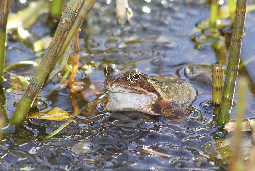 Frog on Spawn