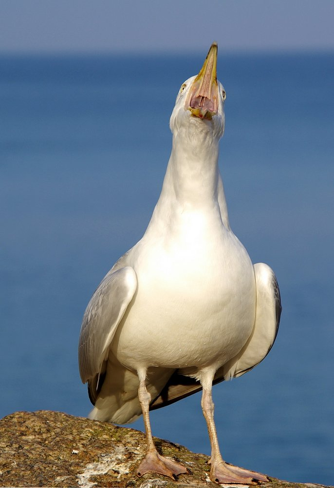 Seagull - screaming at me!