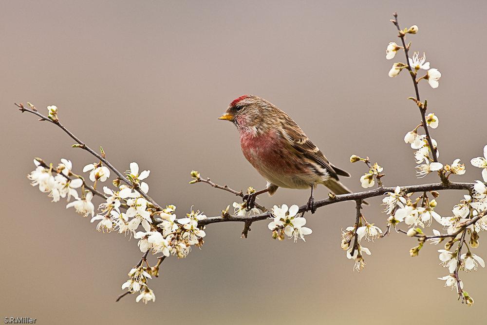 Common Redpoll on Hawthorn Blossom