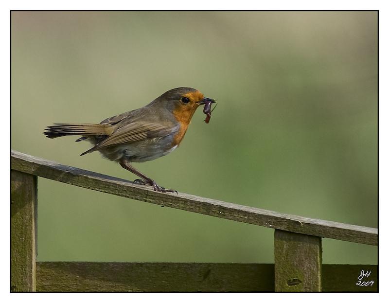 Robin and Worm