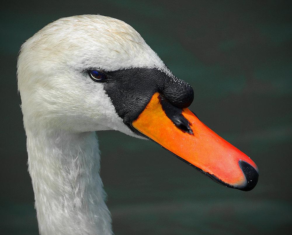 Swan Elegance