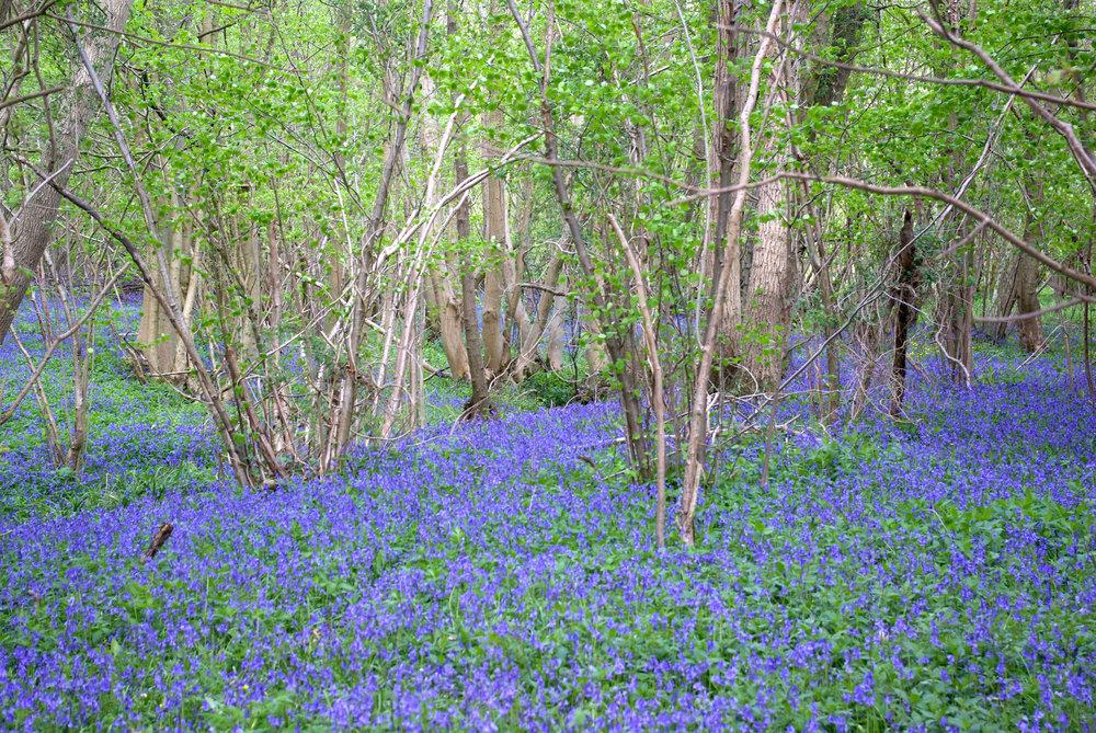 Bluebell Wood, Norfolk