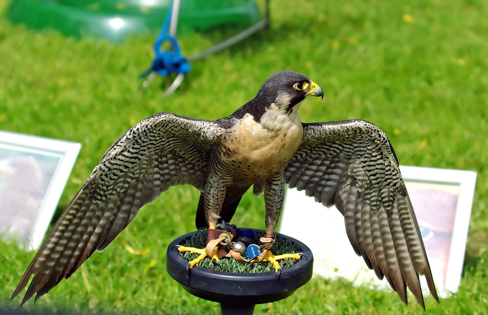 Male Peregrin falcon