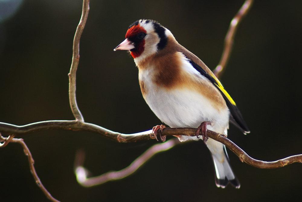scottthehats goldfinch early february