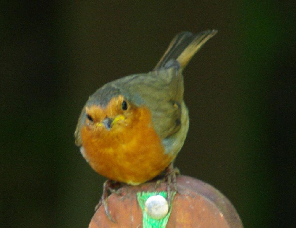 Cute Lil Robin