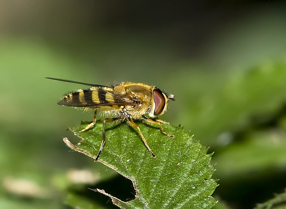 Hoverfly taken at Lido