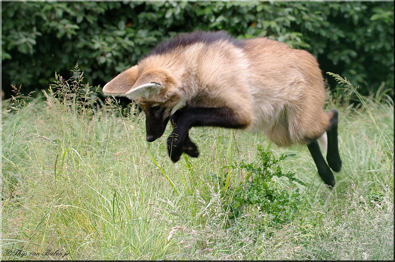 Jumping Maned wolf (young)