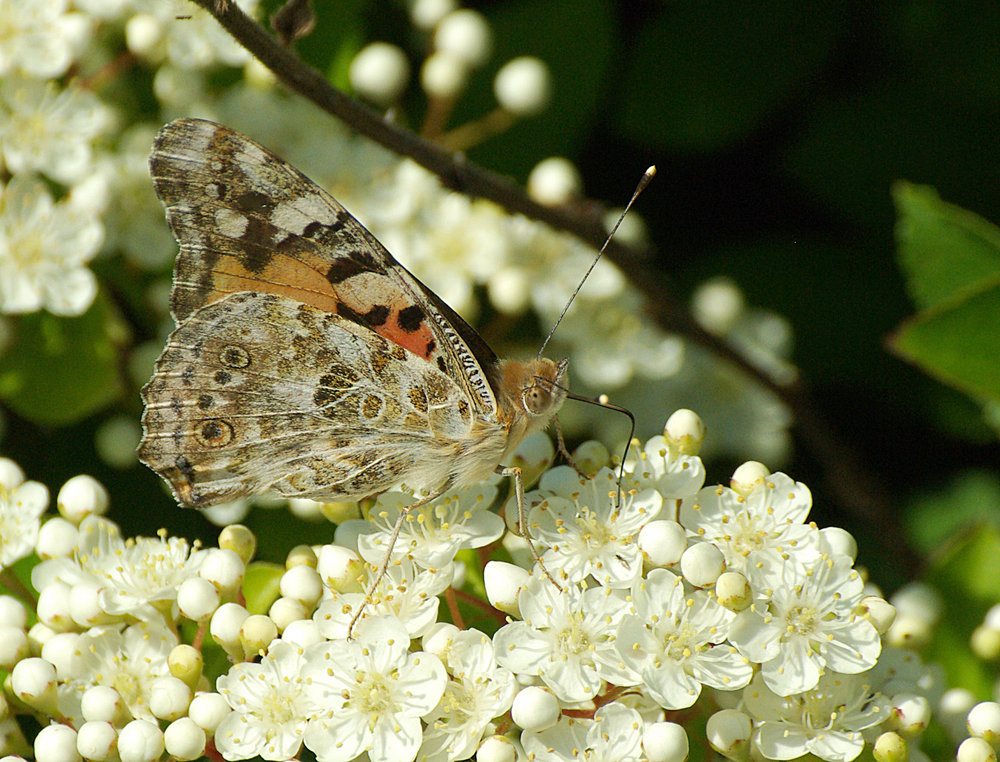Painted Lady Butterfly on Firethorn blossom