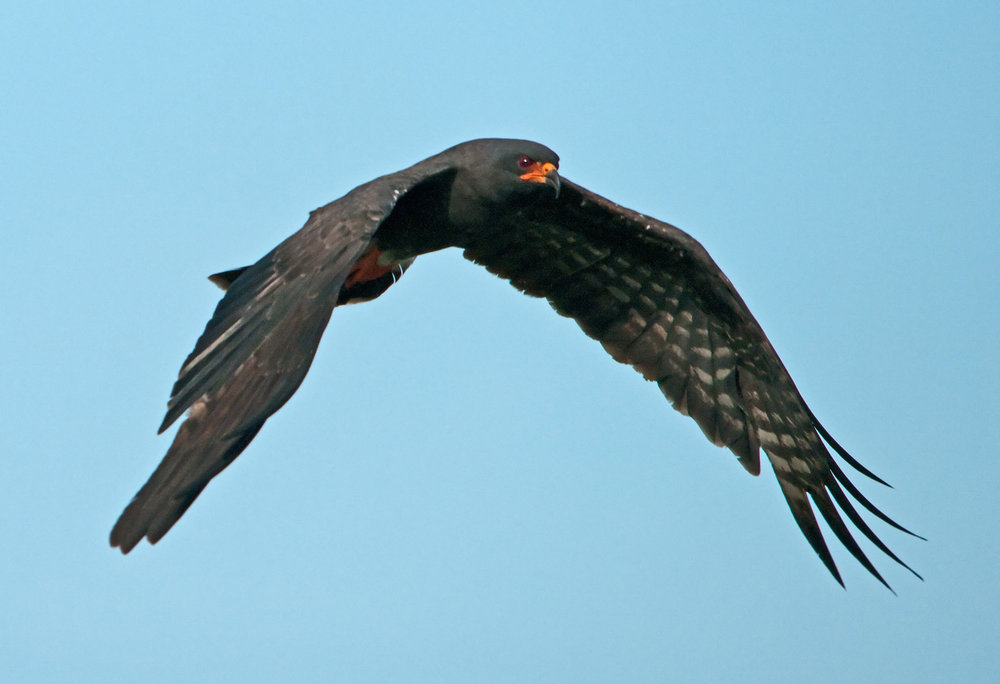 Snail Kite Flight