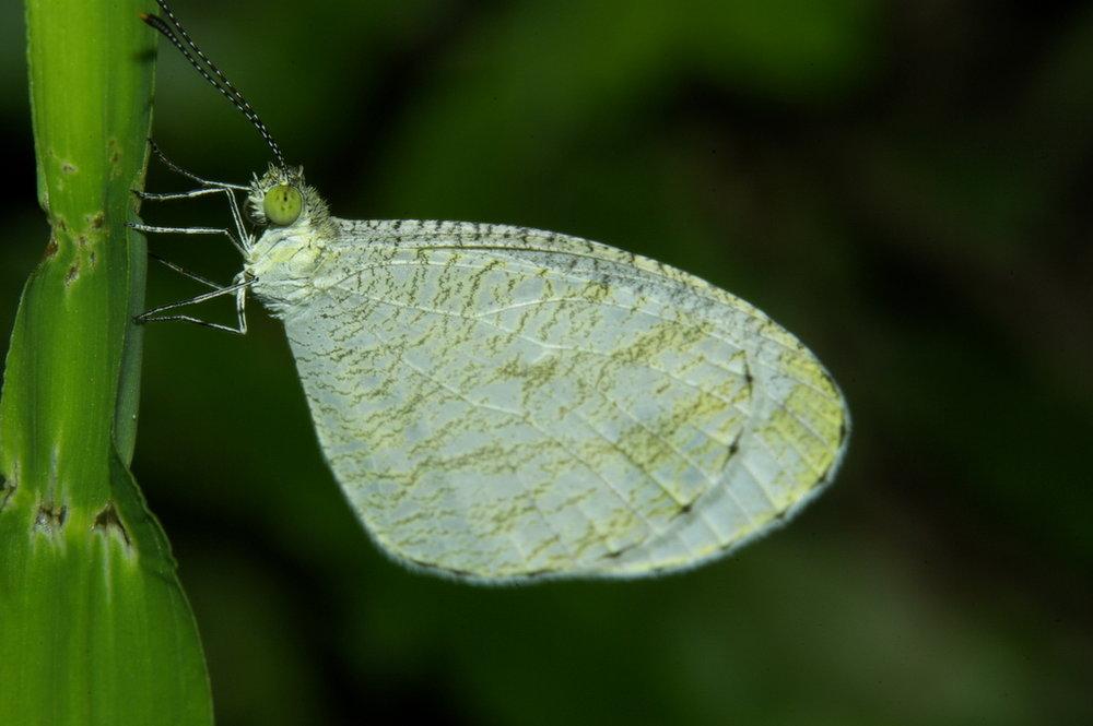Butterfly Chiangmai Thailand 2009-07-28