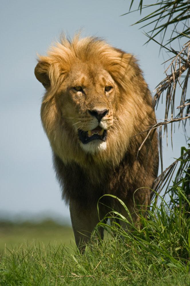 Lion (Tamron Mirror)