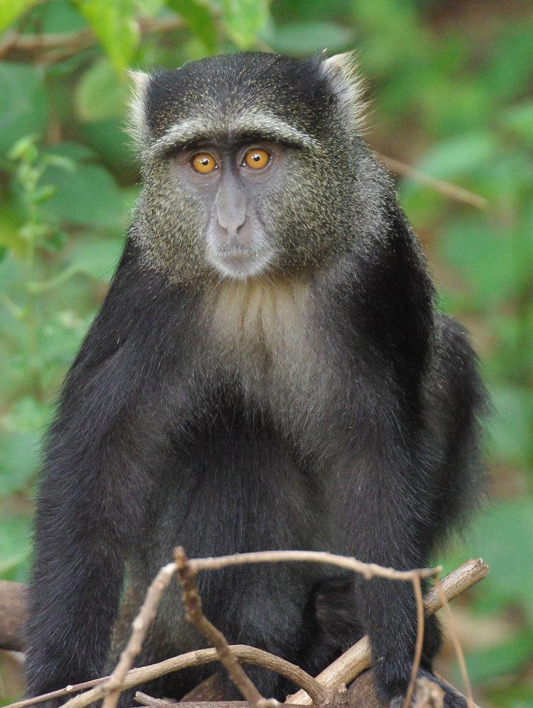 Samango (Blue) Monkey