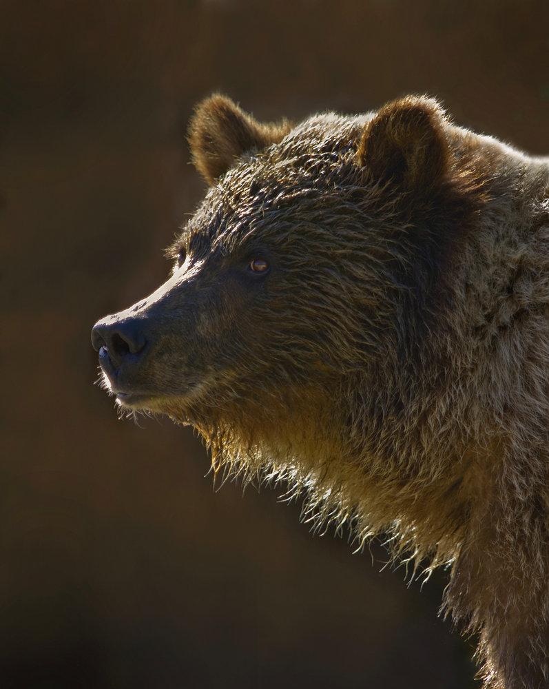 Backlit Grizzly Bear Portrait
