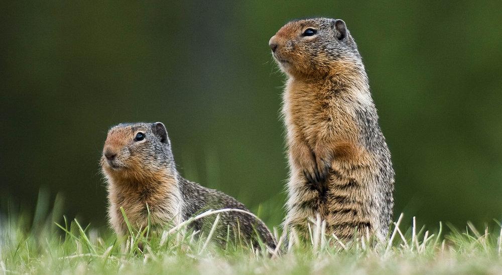 Mantled Ground Squirrels