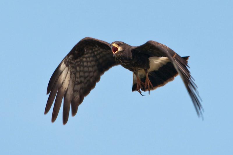 Snail Kite Female In Flight