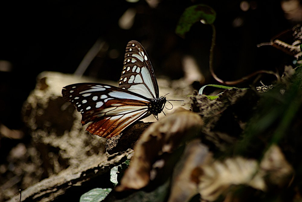 Butterfly Mt Takao Japan