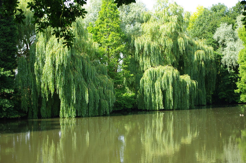 Willows by the Lake