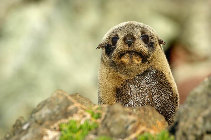 Fur Seal at Ngawi