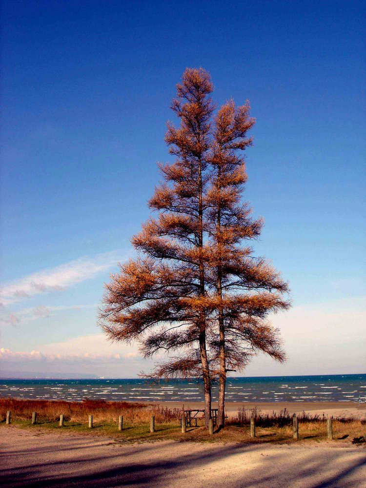 Lone tree - Canada