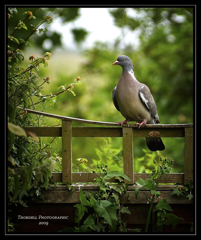 Pert Pigeon