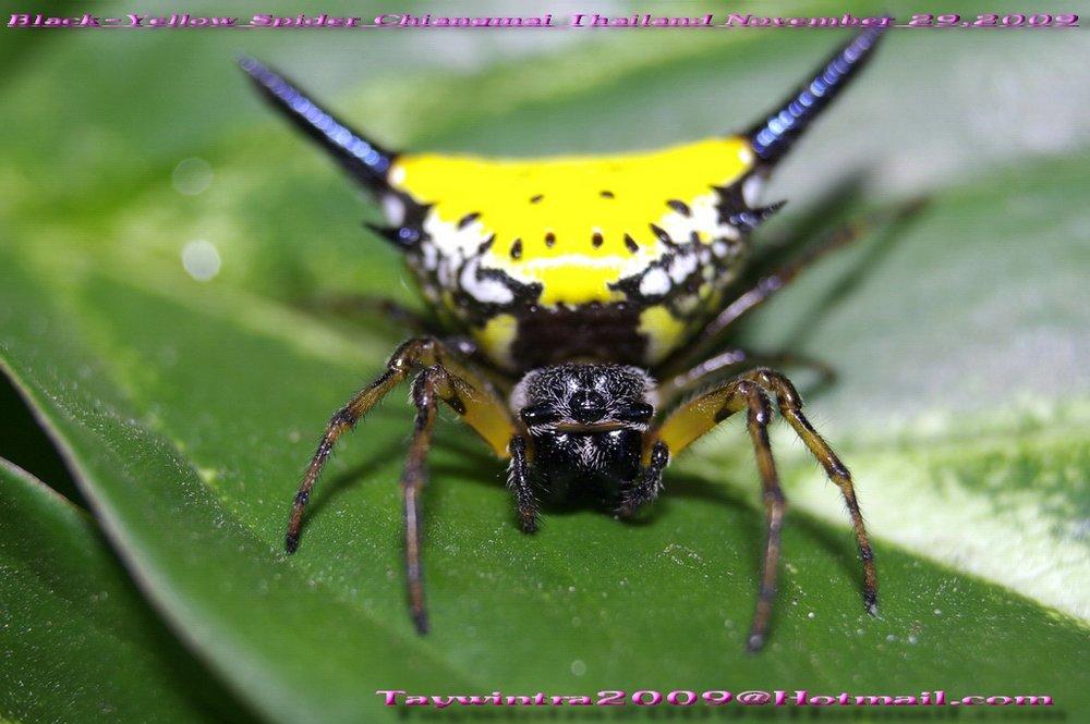 Black-Yellow Spider Chiangmai Thailand November 29,2009#2