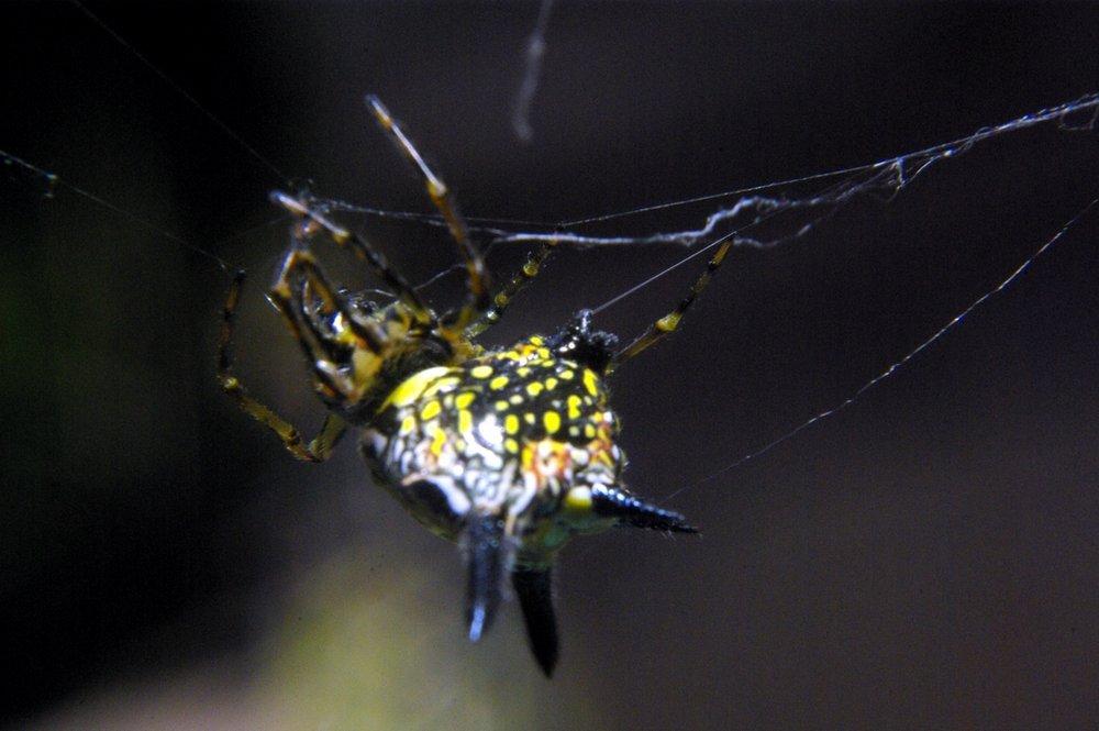 Black-Yellow Spider Chiangmai Thailand November 29,2009