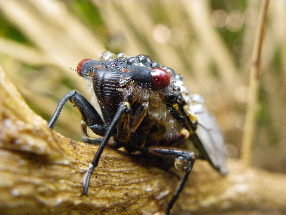 Cicada in the rain.