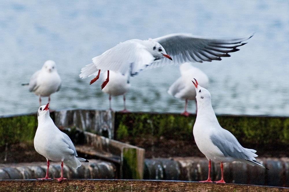 Gull Club...