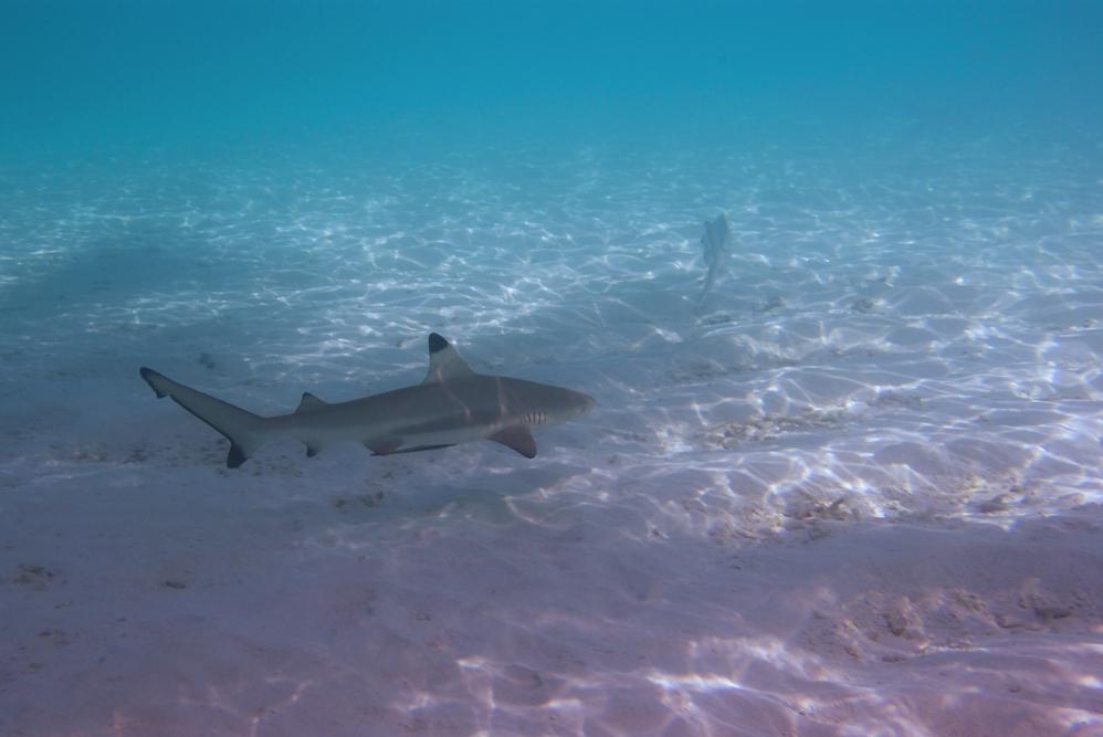 Stealthy Shark