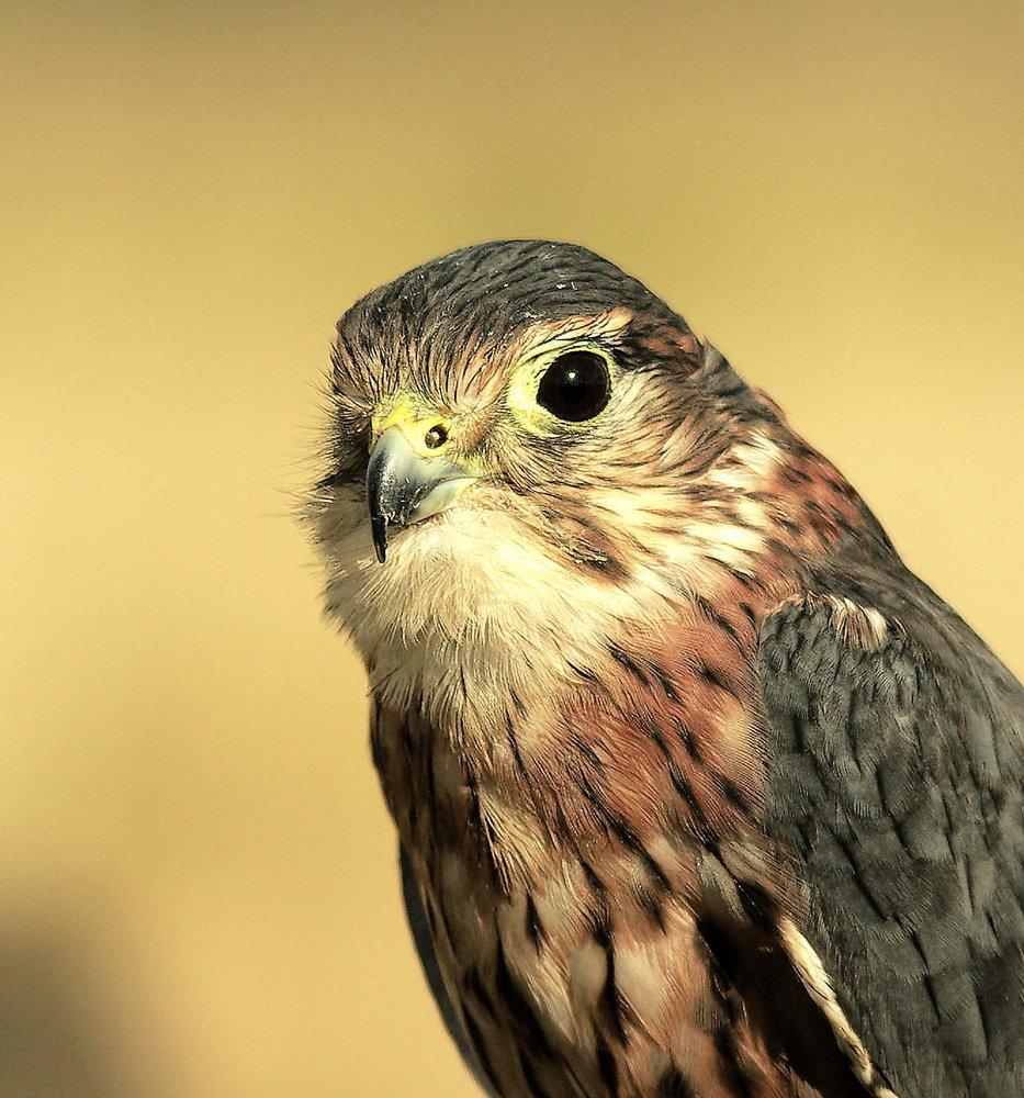 Watchful Merlin