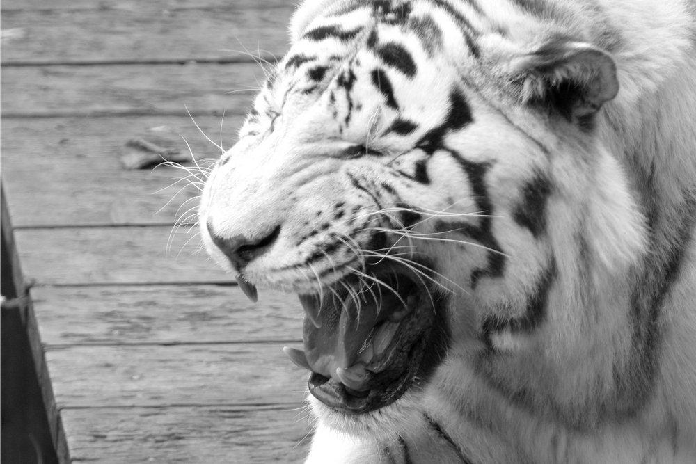 white tiger again