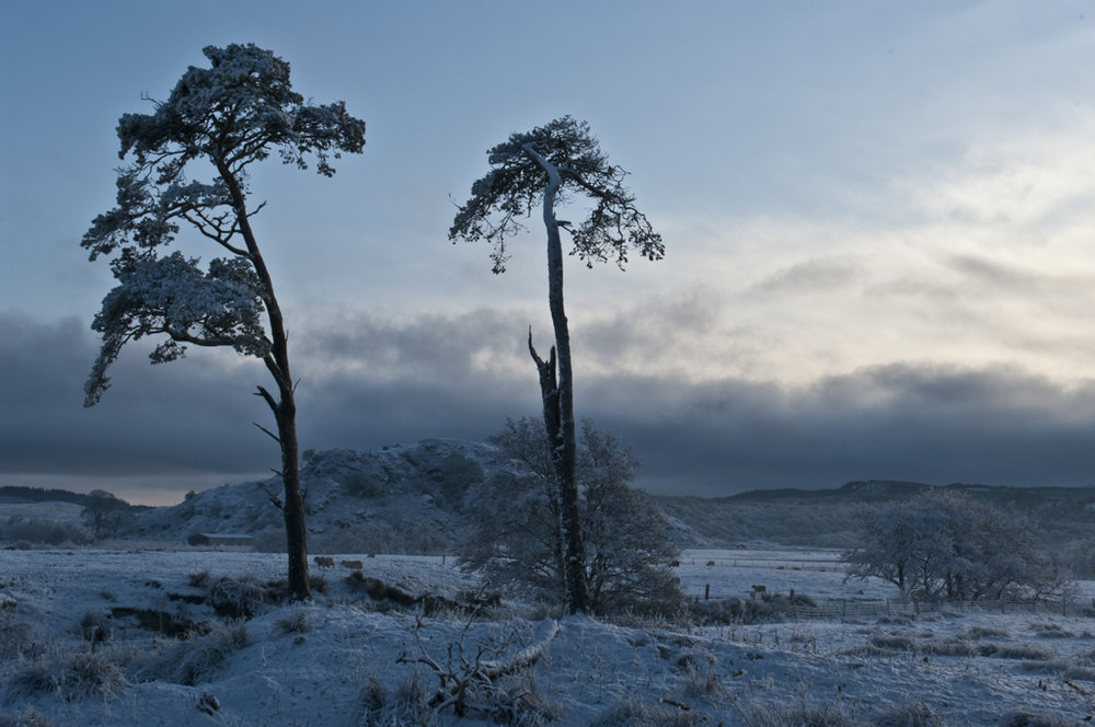 Dunard fort in between two pine trees