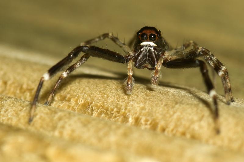 Jumping Spider - Trite auricoma