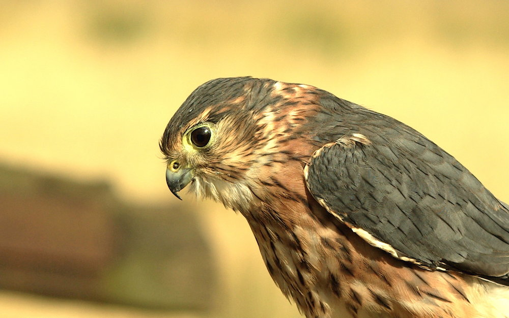 Just a Merlin