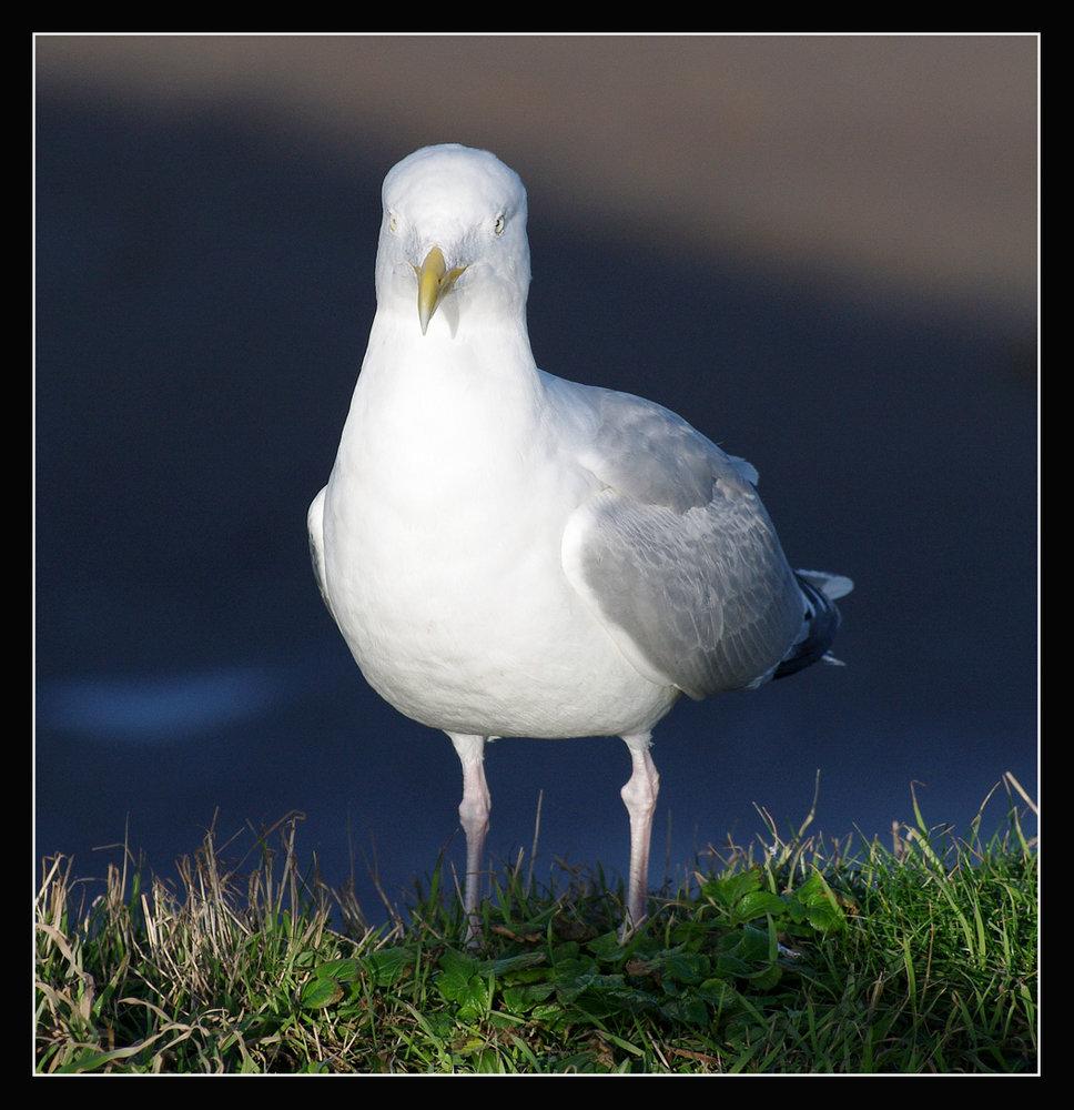 Pentax Gull