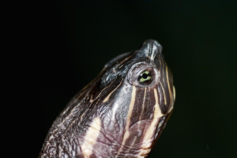 Portrait of a water turtle
