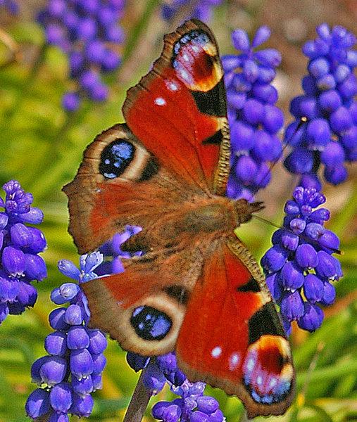 home  gt  pentax user gallery  gt  peacock butterfly