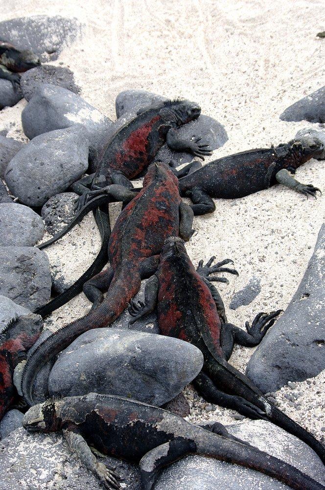 Pile of iguanas