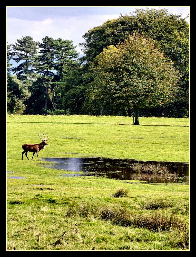 Stag at Tatton