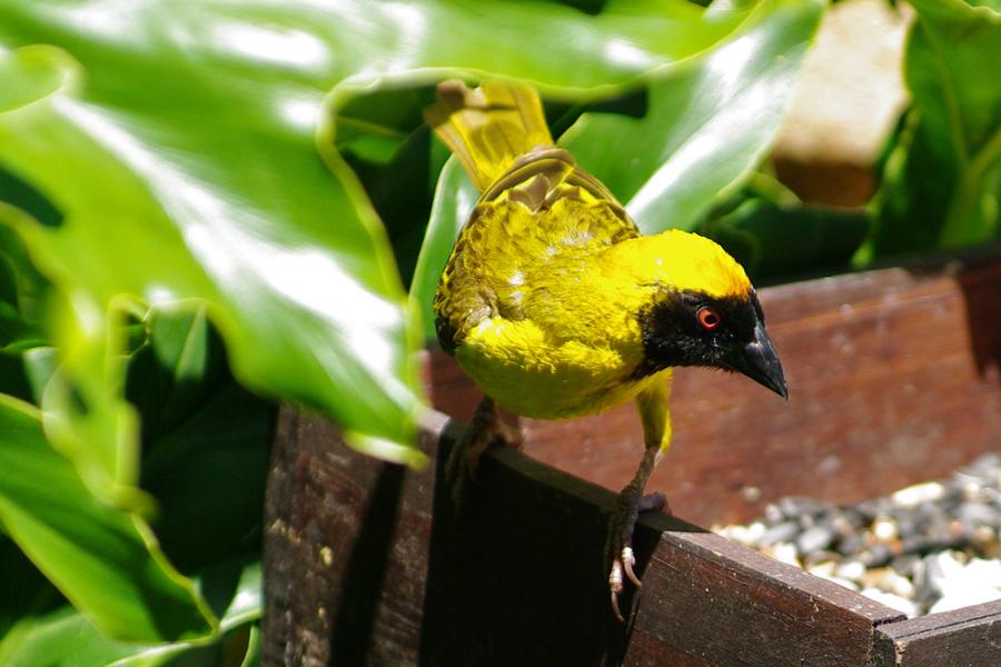 Yellow Finch 2