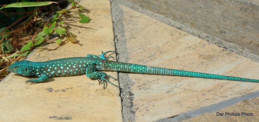Aurba Lizard