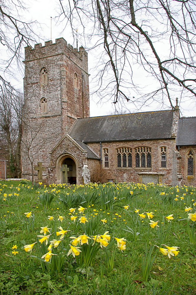 Daffodils at Nether Stowey, Somerset