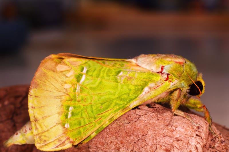 New Zealand native Puriri moth